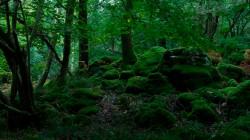 Birk Dault Wood  1