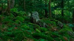 Birk Dault Wood  2