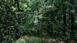 Birk Dault Wood  4