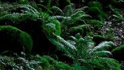 Birk Dault Wood  5