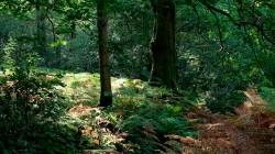 Birk Dault Wood  6